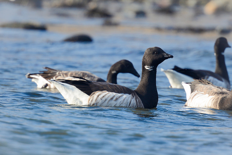 Brant Geese swimming